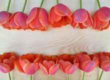 Beautiful red and pink tulips are laid out in two rows on a wooden surface stock photos
