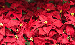 Beautiful red Poinsettia christmas flower Royalty Free Stock Photography