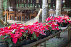 Beautiful red Poinsettia christmas flower Stock Photos