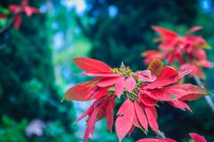 Beautiful red poinsettia flower (Euphorbia pulcherrima), also kn. Own as Christmas Star, a commercially important plant species of the diverse spurge family ( royalty free stock photos