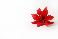 Beautiful red poinsettia flower on a white background Stock Images