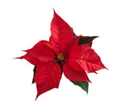 Beautiful red poinsettia flower on white. Christmas symbol. Royalty Free Stock Images