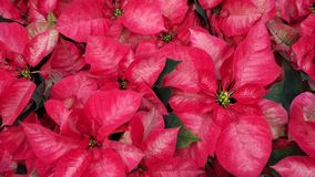Beautiful Red Poinsettia Flowers. Beautiful Red Poinsettia Euphorbia pulcherrima Flowers. Nature background. Lot Nochebuena plants growing in the garden and that royalty free stock images