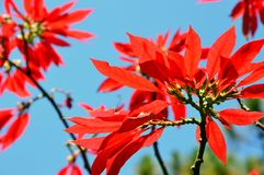 Red poinsettia flowers and blue sky. royalty free stock images