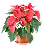 Beautiful red poinsettia plant isolated on white Royalty Free Stock Image