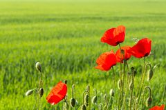 Beautiful red poppies with blurred natural green background Stock Images