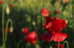 Beautiful red poppies Stock Image