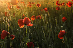 Beautiful red poppies Stock Photos
