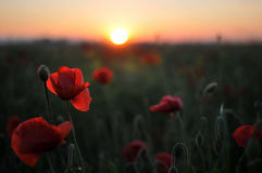 Beautiful red poppies Royalty Free Stock Photo