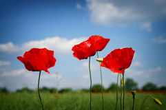 Beautiful red poppies Stock Images