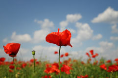 Beautiful red poppies Stock Photography