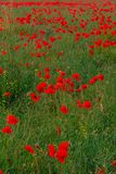 Beautiful red poppies field landscape in Scotland stock photo