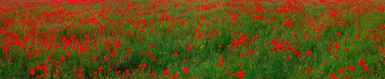 Beautiful red poppies field landscape royalty free stock images