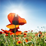 Beautiful red poppies on the green field Stock Photo