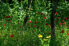 Beautiful red poppies in the high grass in the forest closeup stock photos