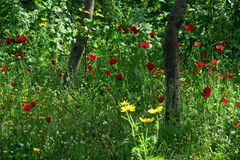 Beautiful red poppies in the high grass in the forest closeup stock photo