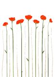 Beautiful Red Poppies Illustration Royalty Free Stock Photo
