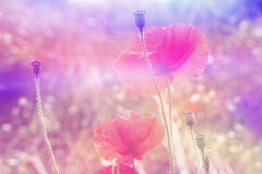 Beautiful red poppies in soft colors with bokeh lights Stock Photos