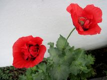 Beautiful red poppies in a spring garden royalty free stock photo