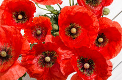 Beautiful red poppies Royalty Free Stock Image