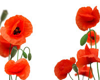 Beautiful red poppy Stock Images