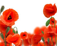 Beautiful red poppy Royalty Free Stock Photo