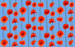 Beautiful red poppy Royalty Free Stock Photography