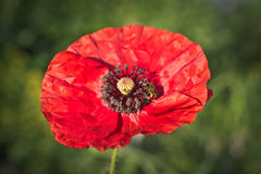 Beautiful red poppy with a bee Stock Photography
