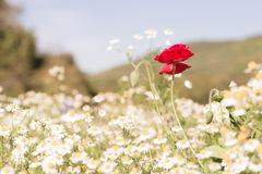 Beautiful red poppy is center of blurred white flowers Royalty Free Stock Photos