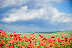 Beautiful red poppy field Stock Images