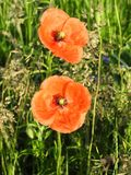 Beautiful red poppy in field, Lithuania royalty free stock photos