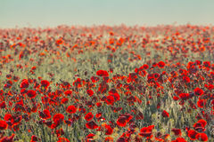 Beautiful red poppy field Royalty Free Stock Images