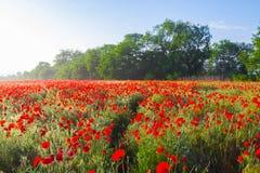 Beautiful red poppy field scene Stock Photography