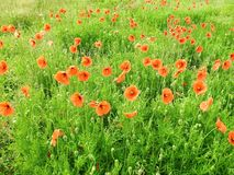 Beautiful red poppy in field, Lithuania stock image