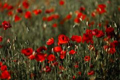 Beautiful red poppy field in Summer - late sunset with a nice red sun stock photo