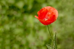 Beautiful red Poppy Flower at a background of blurred green meadow Stock Photography