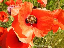Beautiful red poppy flower in field, Lithuania Stock Image