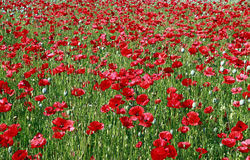 Beautiful red poppy flower field in summer Stock Images