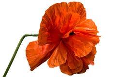 Beautiful red poppy flower Stock Photo