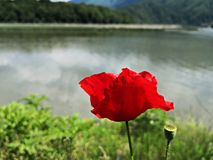 Red poppy flower near the lake Royalty Free Stock Photos