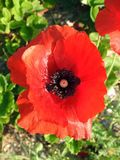 Beautiful red poppy flower, Lithuania Royalty Free Stock Photo
