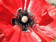Beautiful red poppy flower, Lithuania Royalty Free Stock Photos