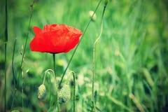 Beautiful red poppy flower Papaver rhoeas.  stock image