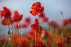 Beautiful red poppy flowers blooming on field against sky background. Royalty Free Stock Photography
