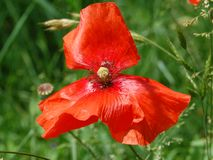 Beautiful red poppy flowers blooming specially for a girl royalty free stock images