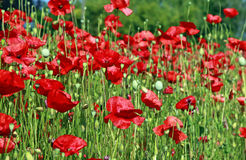 Beautiful red poppy flowers in field Stock Photo
