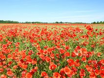 Beautiful red poppy flowers in field, Lithuania Royalty Free Stock Photo