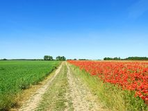 Beautiful red poppy flowers in field, Lithuania Stock Photo