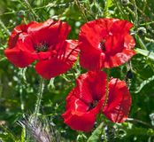 Three red poppies stock photos