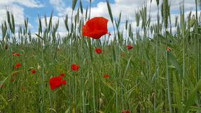 Beautiful red poppy flowers and a large number of spikelets and other various herbs against the blue sky. Walk on the field stock video footage